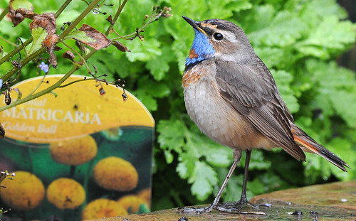 Red Spotted Bluethroat | by ron.hindhaugh