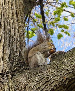 Boston Squirrel | by elkietron