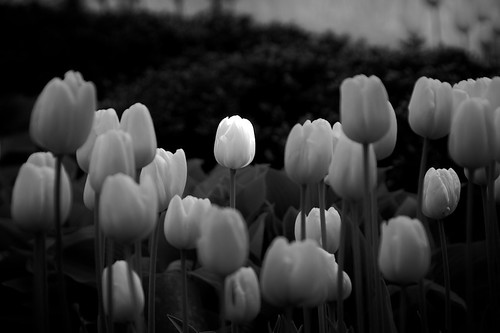 Tulips in Black and White (Chicago Botanic Garden) | by Michael Patrick Perry