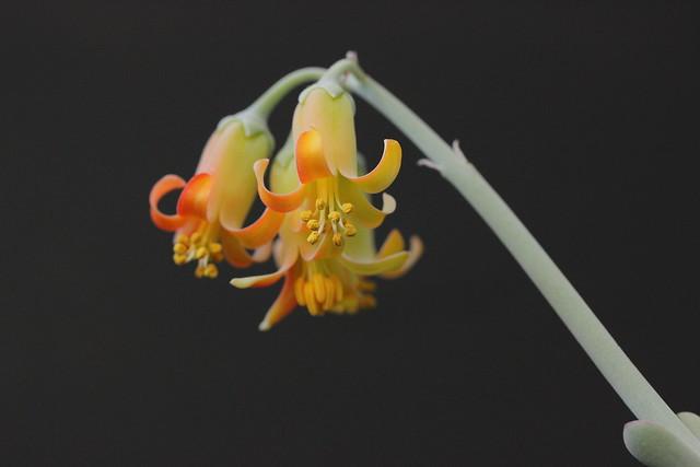 Cotyledon orbiculata 'fukkura'