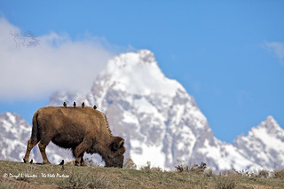 Birds Bison Grand Tetons (Explored) | by Daryl L. Hunter - Hole Picture Photo Safaris