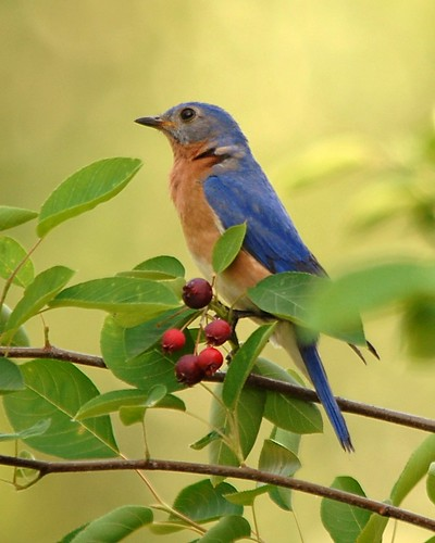 Eastern Bluebird | by mjb8216