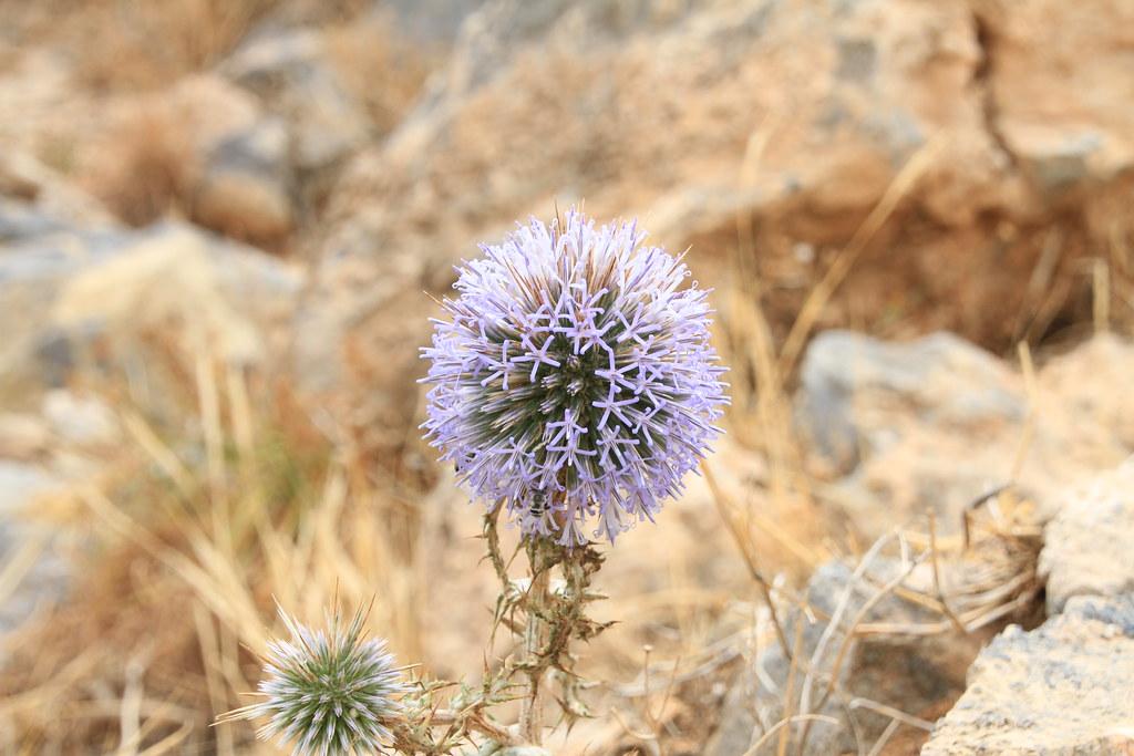 Agios Nikolaos flower