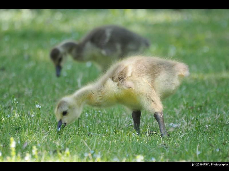 Canada Goose (Branta canadensis) goosling