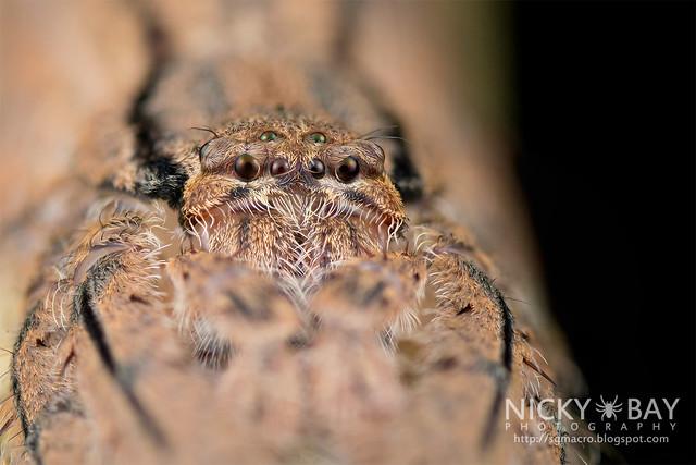 Huntsman Spider (Pandercetes sp.) - DSC_6920