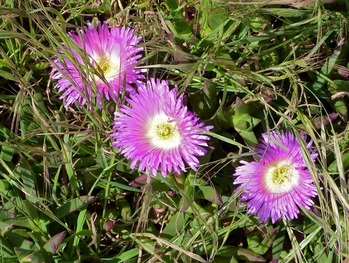 Ice plant flowers | by Sean Timberlake