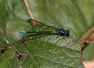 Unknown Damselfly | by sngcanary