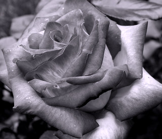 Rose, black & white | by flatcap2009