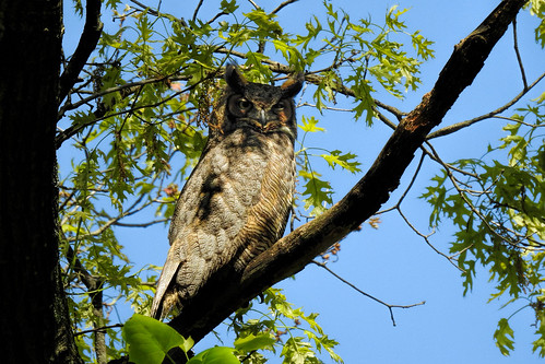 Alley Pond Park: Great-Horned Owl