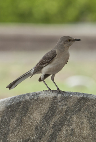 mockingbird | by Anne Davis 773