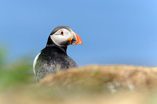 Puffin | by amylewis.lincs