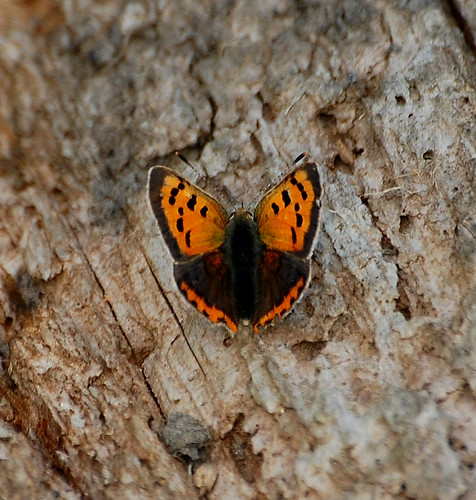 Small Copper (Lycaena Phlaeas) | by Gaz-zee-boh