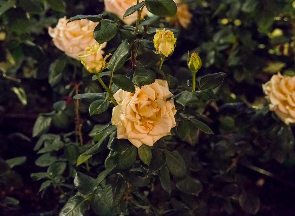 160514_03_nakanoshima_rose2016_026