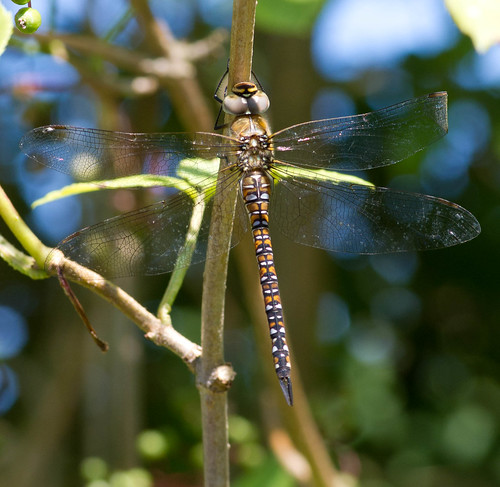 Migrant Hawker Dragonfly | by Tim Ebbs
