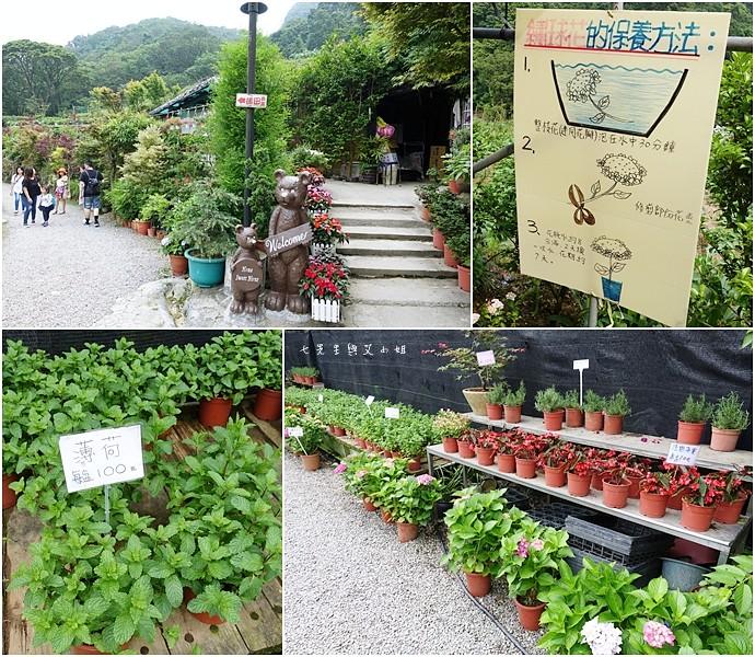 7 陽明山 繡球花 大梯田 竹子湖