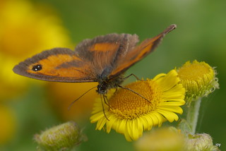 Gatekeeper~Pyronia tithonus | by jump for joy2010