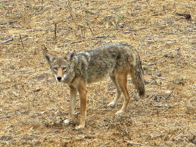coyote eye contact