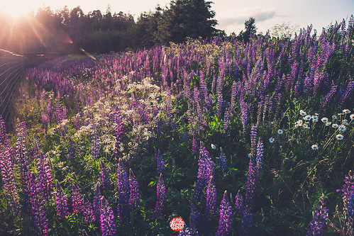 172/365 Lupines | by Jussi Hellsten Photography