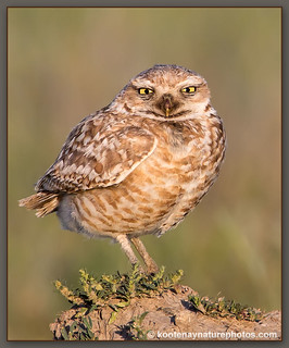 Burrowing Owl - Grasslands National Park | by kootenaynaturephotos.com