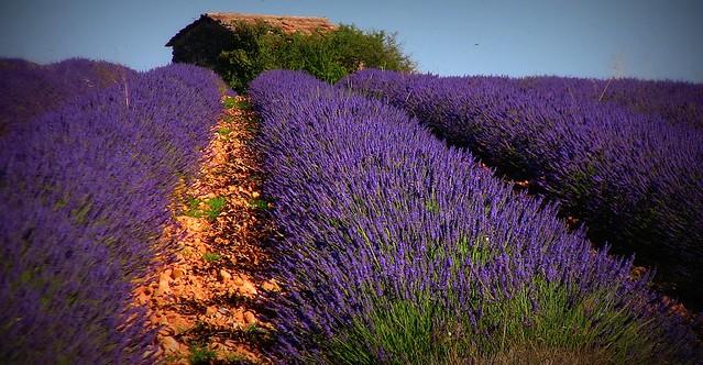 FRANCE - Provence, Lavendelfelder bei Valensole, 75154/6822