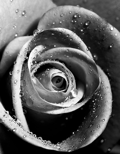 Water drops on a rose | by Jo Evans1 - trying to catch up