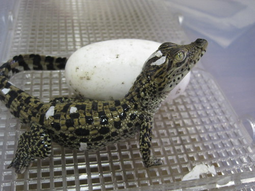 Newly hatched Cuban crocodile | by Smithsonian's National Zoo