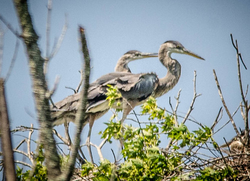 Heron Rookery at Lake Connestee-020