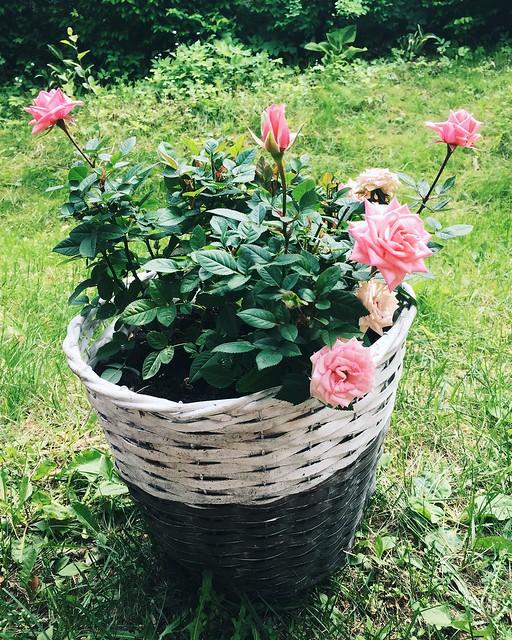 kesä, summer, life, elämä, lifestyle, randoms, viikonloppu, weekends, rose, kukat, flowers, roses, ruusu, ruusu ruukku, rose pot, pink, vaaleanpunainen