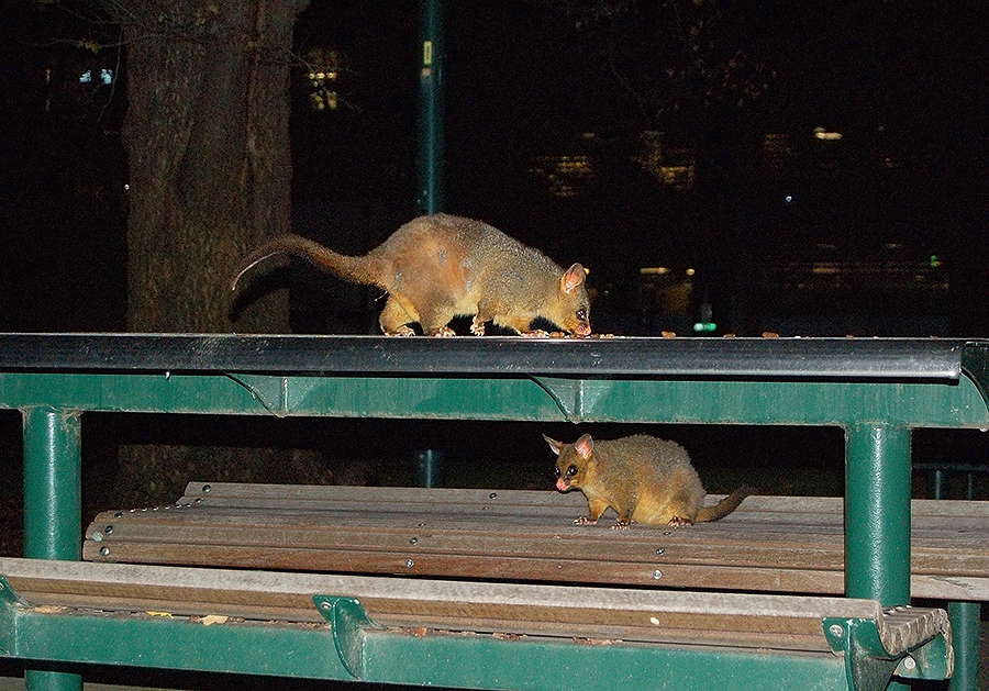 _possums_unimelb_2_