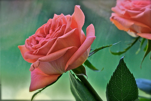 Spring: Rosae | by Zafar (newatclicking is chewing the cud....)