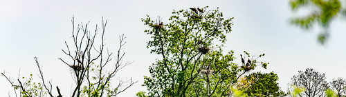 Lake Connestee Heron Rookery Panorama