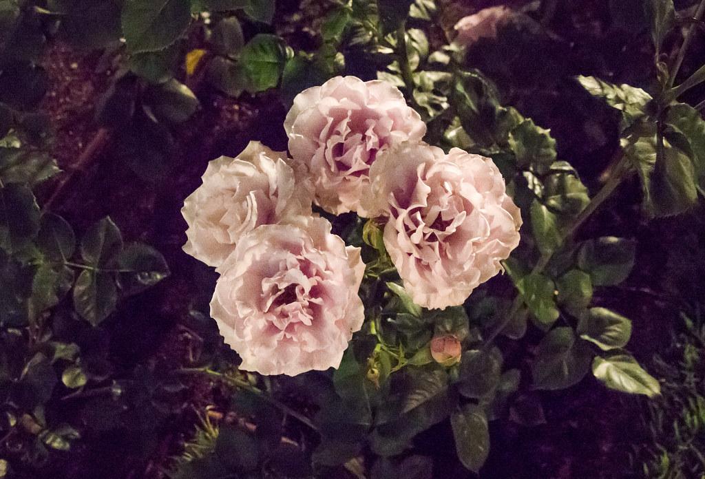 160514_03_nakanoshima_rose2016_025