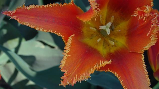 Hairy Tulip