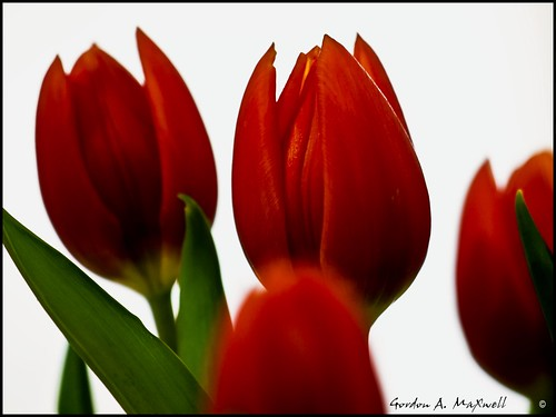Tulips B1 | by G. Maxwell