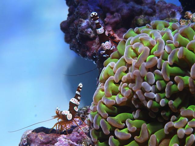 P5275410 榔頭珊瑚 性感蝦