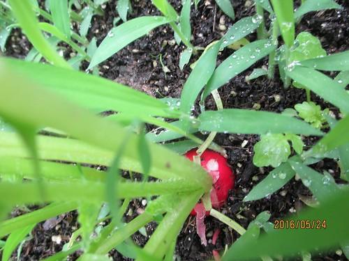 radish 1