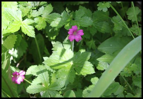 Geranium x endressii
