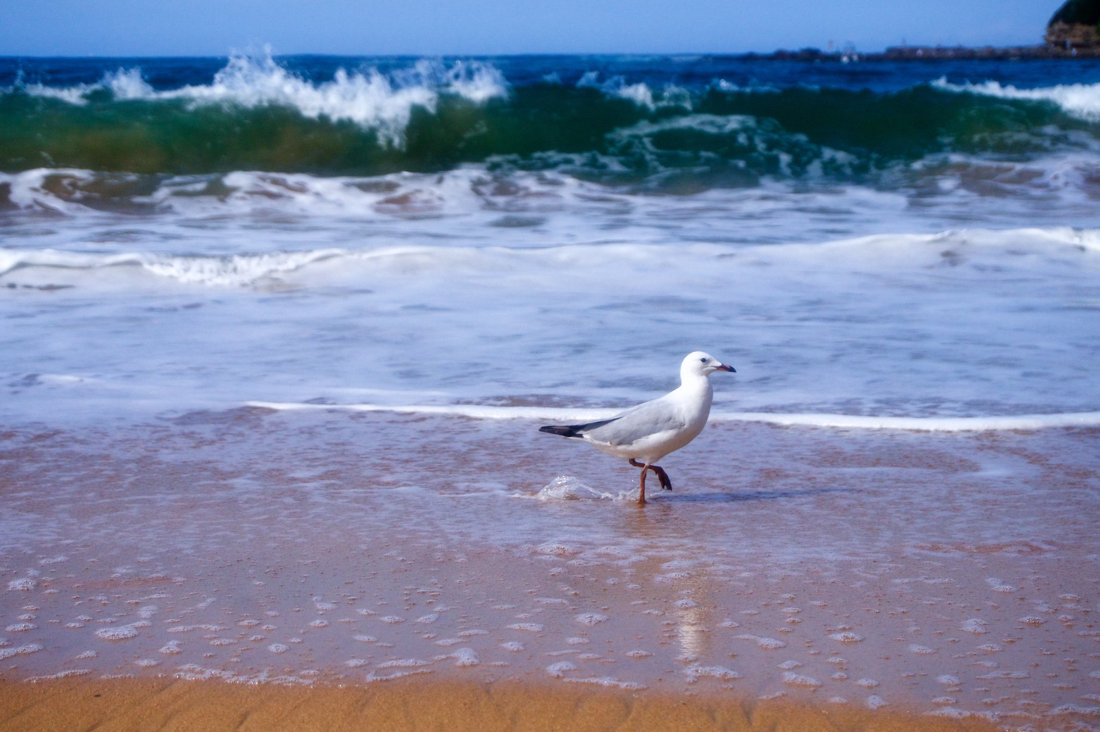 A bird walking at Terrigal Beach