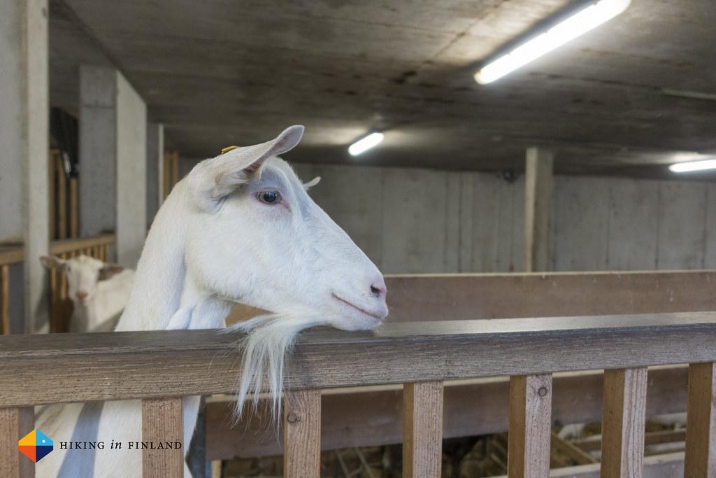 Goats at Metzler Naturhautnah