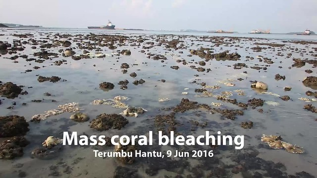 Mass coral bleaching at Terumbu Hantu, 9 Jun 2016