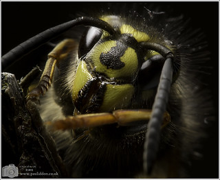 In a dark corner of the garden lurks a Queen Wasp... | by Paul Iddon (www.pauliddon.co.uk)