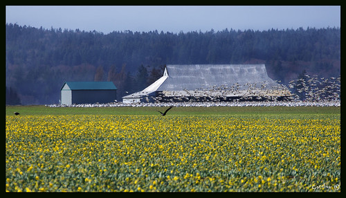 Bald Eagles, Snow Geese and Daffodils = Skagit Valley | by Catsbow
