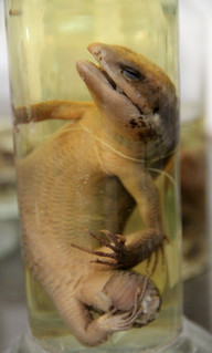 Lizard - Wet Specimen | by Curious Expeditions