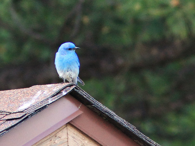 Mountain Bluebird 2-2160612