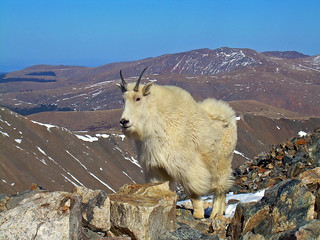 Mountain Goat! | by alex_skazat