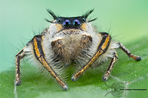 Phidippus insignarius | by Colin Hutton Photography