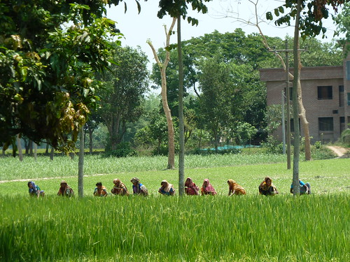 Women harvesting rice in a field, Joypurhat district, Bangladesh. Photo by Anne Delaporte, 2012.