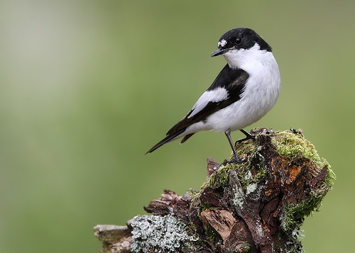 Pied Flycatcher | by Paul C Summers