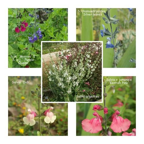 Salvia - les floraisons du moment - Page 16 27436914622_e66057e110