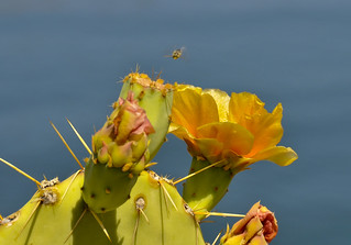 Bee and cactus flower | by jbarc in BC